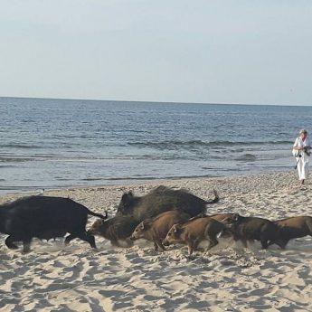 Plaża pełna dzików w Międzyzdrojach