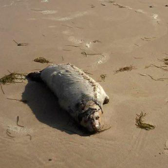 Kolejna martwa foka na plaży. Tym razem w Łukęcinie