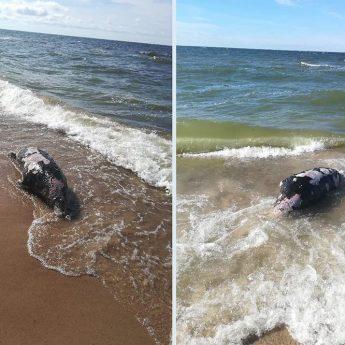 Morze wyrzuciło martwą fokę na plaży w Dziwnówku
