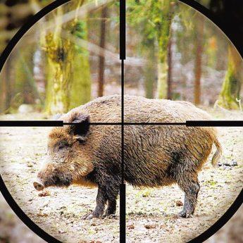 Kolejne polowanie na dziki w ten weekend
